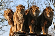 African lion brothers