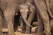 Asian Elephant Baby