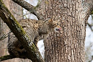 Wildcat in a tree