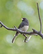 Dark-eyed Junco Portrait