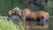 Wet Cow Moose