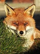 Fox lying in grass