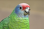 Red tailed amazon (amazona brasiliensis)