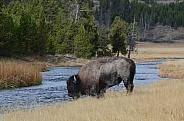 Bison on the Nez Perce Creek