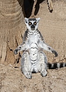 Ring tailed lemur warming in the sun