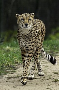 Cheetah, full body, walking