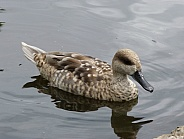 Marbled Duck