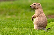 Prairie Dog Standing Upright