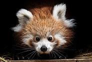 Young Red Panda close up