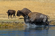 Bison Family on the Firehole