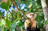 Capuchin Monkey 2