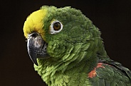 Yellow Fronted Amazon Parrot Black Background