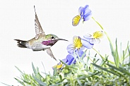Calliopi Hummingbird (wild male)