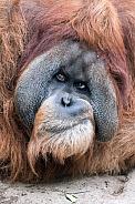 Orangutan male Bimbo
