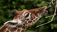 Reticulated Giraffe Calf Side Profile Reaching For Twig