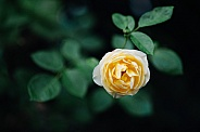 Lone pale yellow Rose