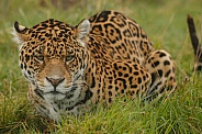 Jaguar Lying In Grass