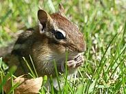 Chipmunk with Seeds