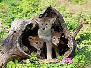 3 Coyote pups