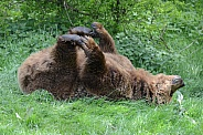 Just Chilling...European Brown Bear