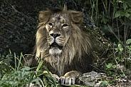 Asiatic Lion Full Body Lying Down