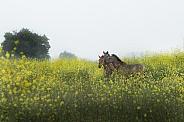 Horses in rapeseed