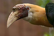 Blyth's Hornbill Head Shot Close Up