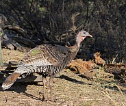 Wild Female Turkey