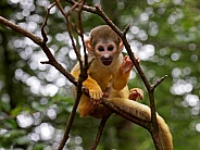 Squirrel Monkey (Saimiri)