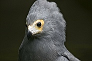 African Harrier Hawk Close Up