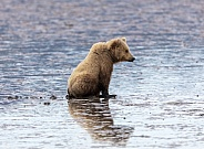 Coastal brown bear at sunset sitting in low tide