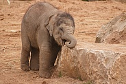 Baby Asian Elephant Leaning On/Biting Rock