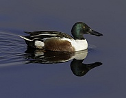 Male Northern Shoveler Pair in Alaska