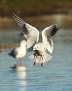Black-headed Gull in Flight (Winter Plumage)