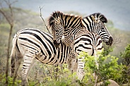 Zebras playing in Kruger Park, South Africa