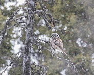 Northern Hawk Owl in Alaska
