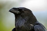 Chihuahuan Raven Portrait