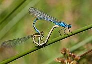 Damsel fly love