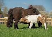 Miniature Horse Foal Suckling