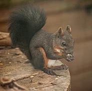 japenese squirrel