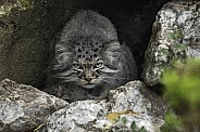 Manul/Pallas Cat Hiding In Rocky Cave