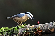 Nuthatch dropped his berry
