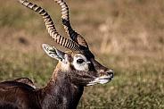 Blackbuck Antelope
