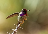Costa's hummingbird, Calypte costae