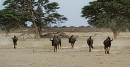 Wildebeest walking