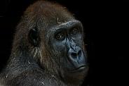 Female Western Lowland Gorilla on Black Background