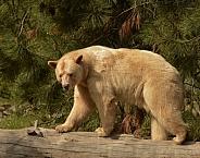 White Kermode Bear