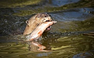 Giant Otter Swimming With Fish In Mouth