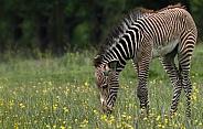 Grevy's Zebra Foal Side Profile Full Body