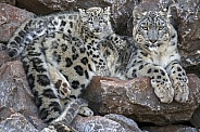 Snow Leopard Female with Cub